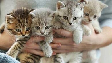ما هو السن المناسب لزواج القطط الشيرازي أو السيامي أو السيبيري أو البري