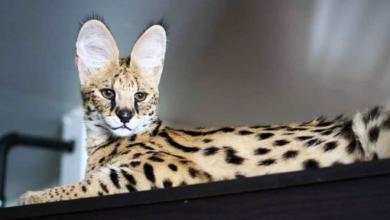 قط السافانا احد أنواع السلالة